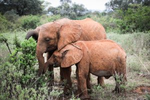 Kiombo und Kiasa (c) Sheldrick Wildlife Trust