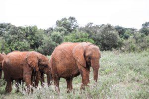 Kiombo und Maisha (c) Sheldrick Wildlife Trust
