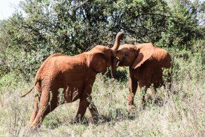 Kiombo und Maktao (c) Sheldrick Wildlife Trust