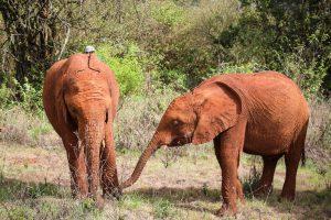 Kiombo und Naboishu (c) Sheldrick Wildlife Trust