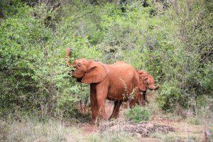 Kiombo und Olorien (c) Sheldrick Wildlife Trust