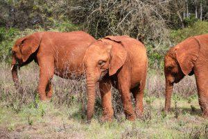 Kiombo, Roho und Larro (c) Sheldrick Wildlife Trust