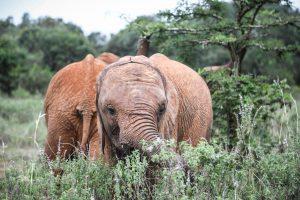 Larro (c) Sheldrick Wildlife Trust