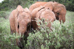 Larro, Mukkoka und Maisha (c) Sheldrick Wildlife Trust