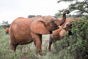 Maisha (c) Sheldrick Wildlife Trust