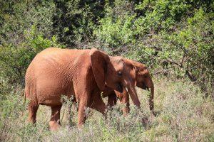 Maisha und Kiombo (c) Sheldrick Wildlife Trust