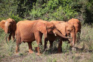 Maisha, Maktao und Mukkoka (c) Sheldrick Wildlife Trust