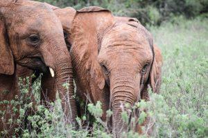 Maisha und Mukkoka (c) Sheldrick Wildlife Trust