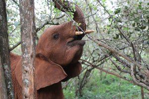 Maktao (c) Sheldrick Wildlife Trust