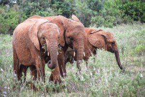 Maktao, Nabulu und Roho (c) Sheldrick Wildlife Trust