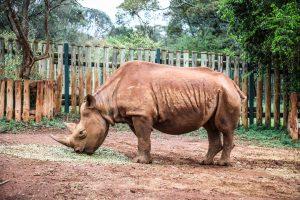 Maxwell (c) Sheldrick Wildlife Trust