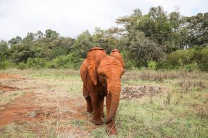 Mukkoka (c) Sheldrick Wildlife Trust