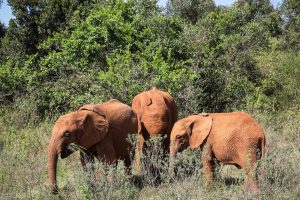 Mukkoka und Nabulu (c) Sheldrick Wildlife Trust