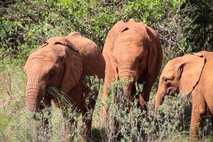 Mukkoka, Nabulu und Roho (c) Sheldrick Wildlife Trust
