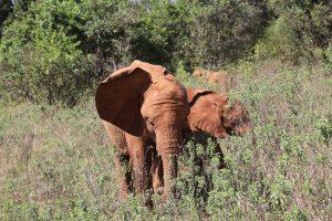 Mukkoka und Olorien (c) Sheldrick Wildlife Trust