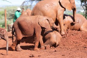 Naboishu (c) Sheldrick Wildlife Trust