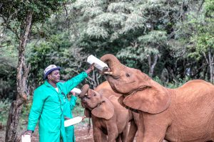 Naboishu und Kiombo (c) Sheldrick Wildlife Trust