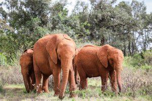 Naboishu, Maisha und Kiasa (c) Sheldrick Wildlife Trust