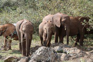 Naboishu, Roho und Maisha (c) Sheldrick Wildlife Trust