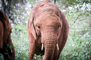 Nabulu (c) Sheldrick Wildlife Trust