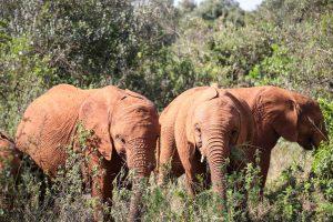 Nabulu, Kiasa und Kiombo (c) Sheldrick Wildlife Trust