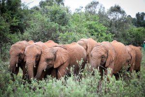 Nabulu, Kiasa, Mukkoka und Kiombo (c) Sheldrick Wildlife Trust