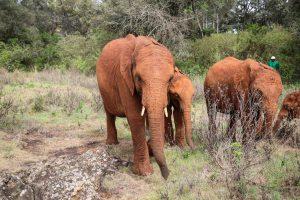V.l.n.r.: Nabulu, Roho und Kiombo (c) Sheldrick Wildlife Trust
