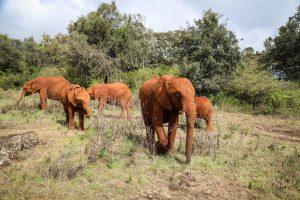 V.l.n.r.: Nabulu, Roho, Larro, Kiasa und Olorien (c) Sheldrick Wildlife Trust
