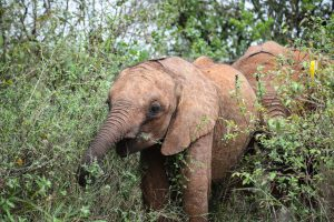 Naleku (c) Sheldrick Wildlife Trust
