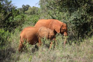 Naleku und Nabulu (c) Sheldrick Wildlife Trust