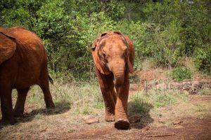 Olorien (c) Sheldrick Wildlife Trust