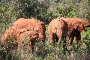 Olorien, Nabulu, Kiasa und Kiombo (c) Sheldrick Wildlife Trust