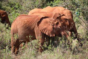 Olorien und Roho (c) Sheldrick Wildlife Trust