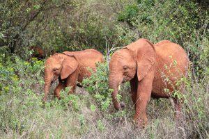 Roho und Maktao (c) Sheldrick Wildlife Trust