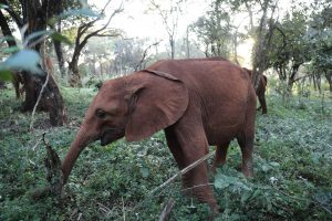 Roho (c) Sheldrick Wildlife Trust