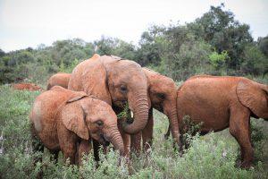 Roho, Maisha und Kiasa (c) Sheldrick Wildlife Trust