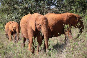 Roho, Nabulu und Kiombo (c) Sheldrick Wildlife Trust