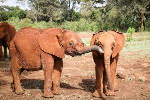 Ziwadi und Roho (c) Sheldrick Wildlife Trust