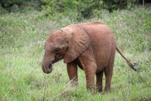 Bodeni (c) Sheldrick Wildlife Trust