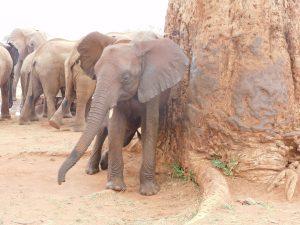 Embu beim Schubbern (c) Sheldrick Wildlife Trust
