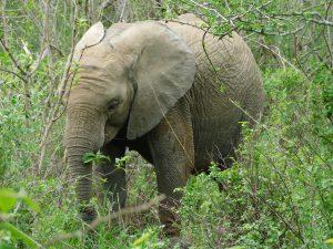 Enkesha beim Fressen (c) Sheldrick Wildlife Trust