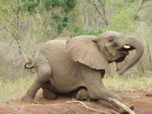Faraja rubbelt seinen dicken Bauch (c) Sheldrick Wildlife Trust