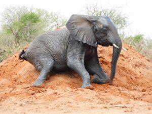 Kamok spielt im Dreck (c) Sheldrick Wildlife Trust