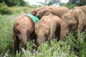 V.l.n.r.: Kindani, Naleku und Larro (c) Sheldrick Wildlife Trust