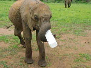 Luggard hält seine Flasche ganz allein! (c) Sheldrick Wildlife Trust