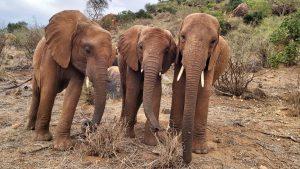 V.l.n.r.: Mbegu, Godoma und Mudanda (c) Sheldrick Wildlife Trust