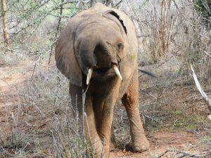 Ndololo (c) Sheldrick Wildlife Trust