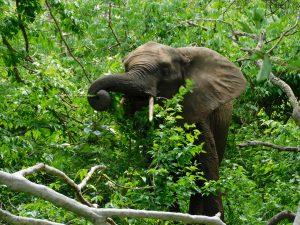 Quanza frißt sich satt (c) Sheldrick Wildlife Trust
