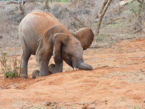 Sapalan vertieft ins Spielen (c) Sheldrick Wildlife Trust