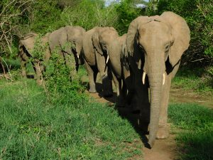 Shukuru führt die Herde an (c) Sheldrick Wildlife Trust
